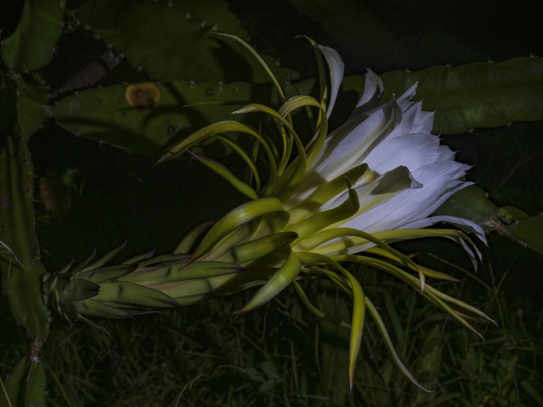 ドラゴン・フルーツの花