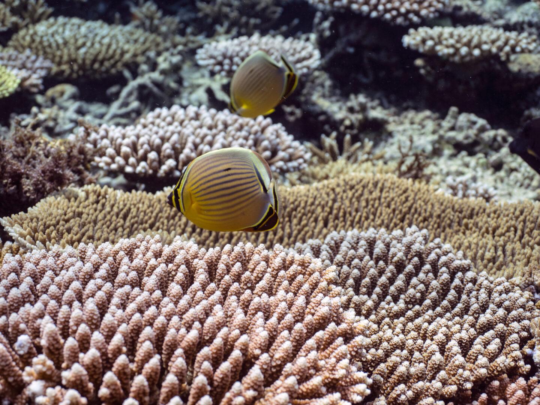 サンゴとチョウチョウウオ