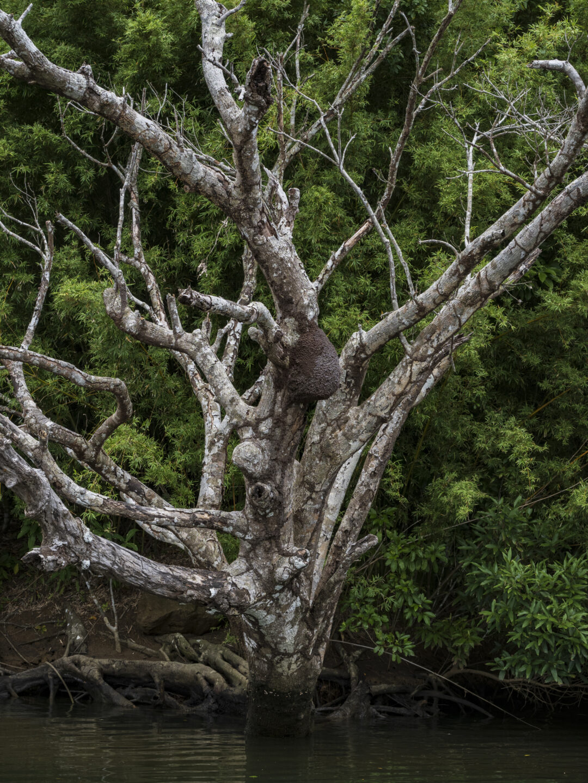枯れ木とシロアリの巣